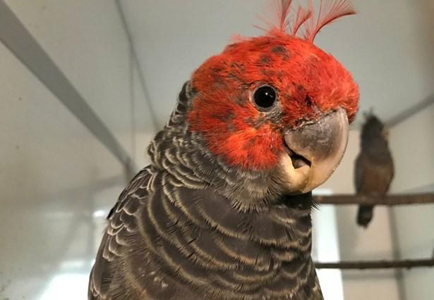Popis: Kakadu přilbový.