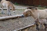Zoo Praha se raduje z dalšího mláděte koně Převalského