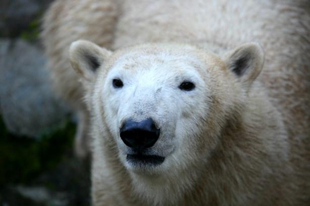 Popis: Lední medvěd v brněnské zoologické zahradě.