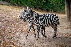 V Zoo Praha jsou poprvé v její historii k vidění vzácné zebry bezhřivé