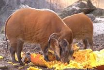 Ostravská zoo chystá oslavu Halloweenu. Na vydlabaných dýních si pak pochutnají zvířata