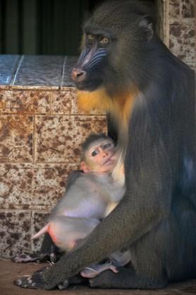 Ústecká zoo se pyšní třemi novými přírůstky mezi primáty