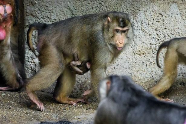 Popis: V Zoo Praha se narodilo další mládě makaka vepřího. Celou skupinu těchto primátů, které pražská zoo chová jako jediná v ČR, mohou návštěvníci pozorovat v pavilonu Indonéská džungle.