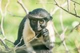 Za poslední rok se v ostravské zoo narodilo nejvíce mláďat kočkodana Dianina