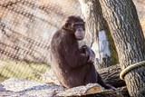 Ostravská zoologická zahrada získala z italské Ravenny nového šimpanzího samce
