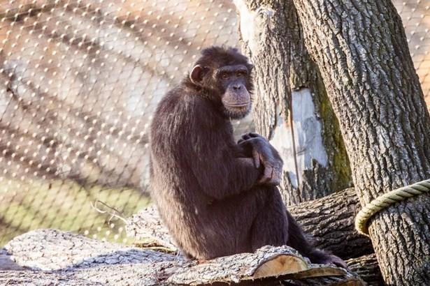 Popis: Nový samec šimpanze v ostravské zoologické zahradě.