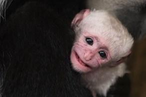V Zoo Praha se narodila gueréza pláštíková