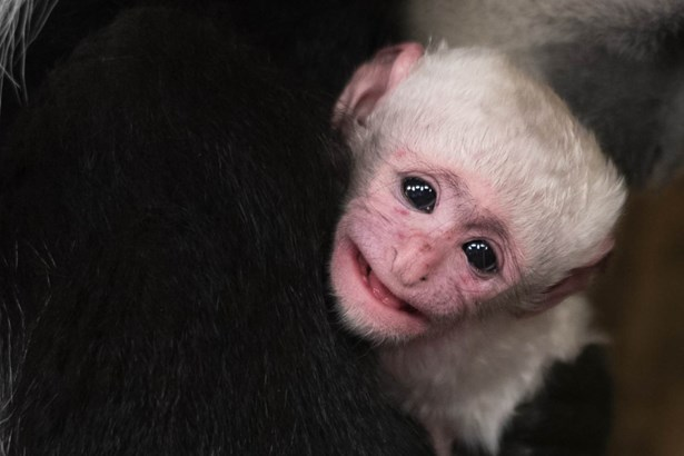 Popis: Zoo Praha se raduje z dalšího mláděte guerézy pláštíkové. Narodilo se v úterý ráno.
