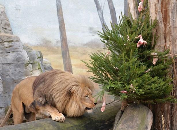 Popis: Štědrý den v ústecké zoologické zahradě.