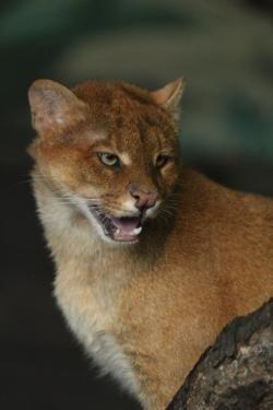 Brněnští jaguarundi schovávají mládě