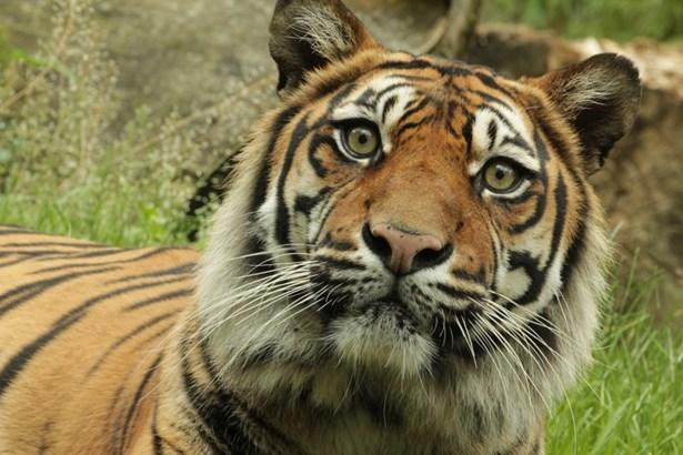 Popis: Tygr sumaterský.