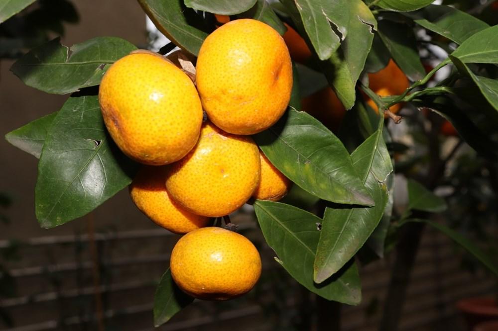 Popis: Mandarinka obecná.
