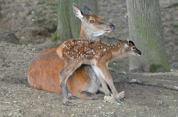 Popis: Jeden ze sedmi koloušků jelena evropského v táborské zoo.