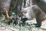 Ústecká zoo se jako jediná v Česku dočkala mláďat nosálů bělohubých