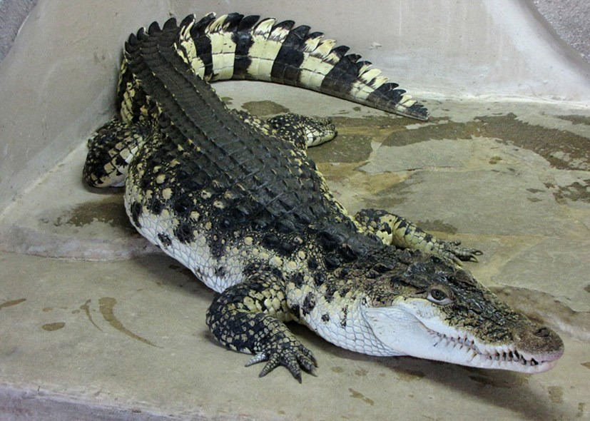 Popis: Krokodýl filipínský.