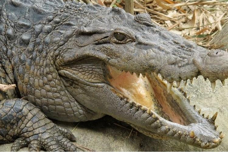 Nakrmit krokodýly a vyfotit se s nimi na památku. Takovou možnost dává Krokodýlí Zoo Praha