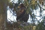 Orel křiklavý znovu hnízdí v Moravskoslezském kraji