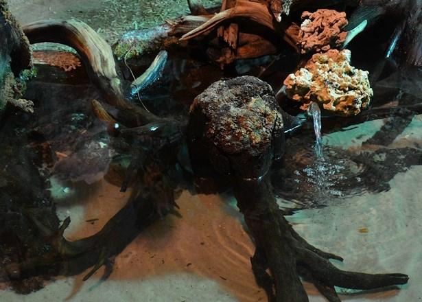 Popis: Trnuchy skvrnité představují nové lákadlo Rajských ostrovů v děčínské zoologické zahradě.