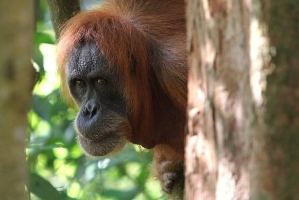 Popis: Orangutan.