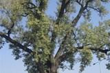 Klub českých turistů pořádá pochod kolem mnoha památných stromů