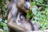 Ostravská zoo hlásí nový přírůstek u mandrilů