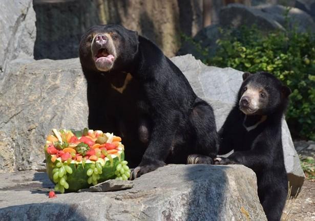 Popis: Medvěd malajský - Batu.