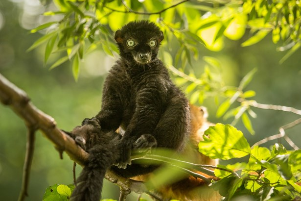 Popis: Samec lemura žijící v ostravské zoologické zahradě.