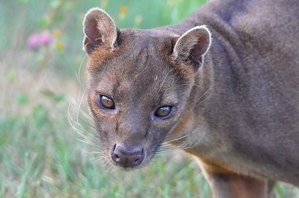 Popis: Fosa madagaskarská žijící v Zoo Tábor.