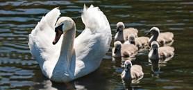 Vycházka k rybníkům přiblíží život ptáků na vodní hladině