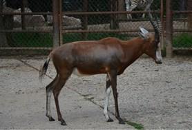V Zoo Brno se narodilo historicky první mládě buvolce běločelého