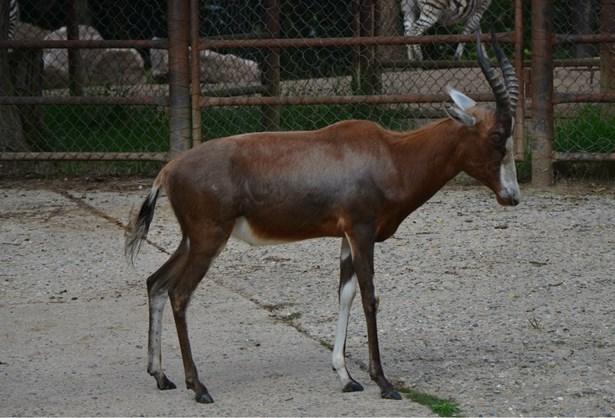 Popis: Buvolec běločelý žijící v brněnské zoologické zahradě.