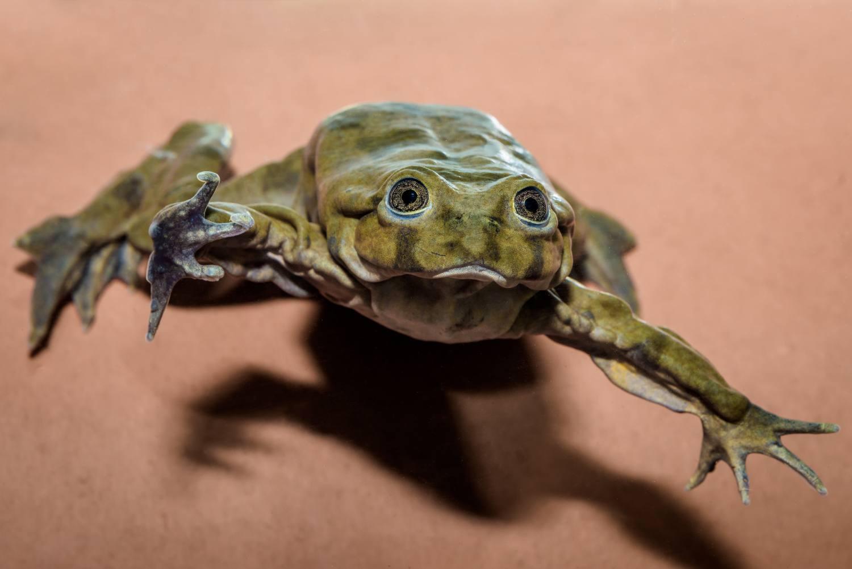 Zoo Praha získala vodnice posvátné, vzácné žáby z jezera Titicaca