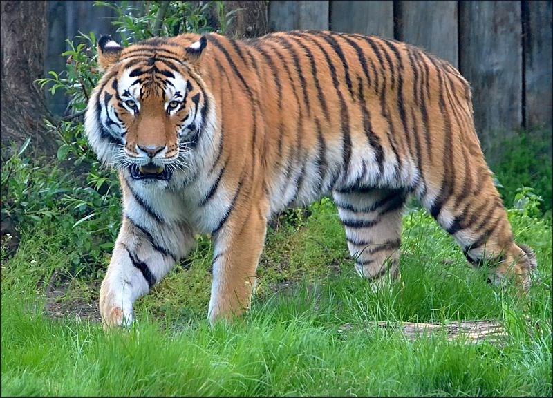 Tygr ussurijský žijící v hodonínské zoologické zahradě.
