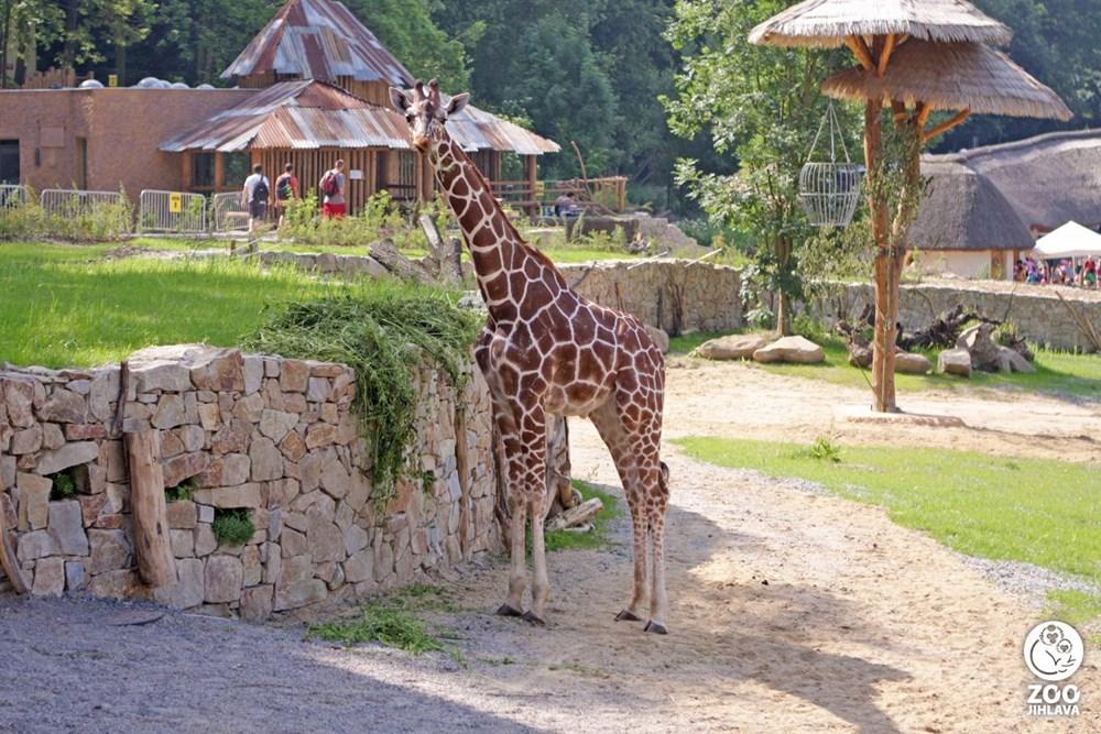Popis: Žirafa síťovaná žijící v jihlavské zoologické zahradě.