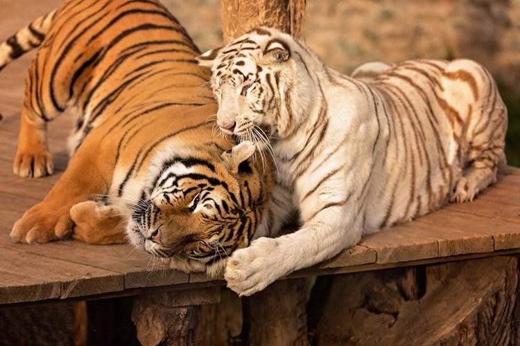 V ZOO Plasy uvidíte na jednom místě bílého klokana, bílého tygra a bílé lvy