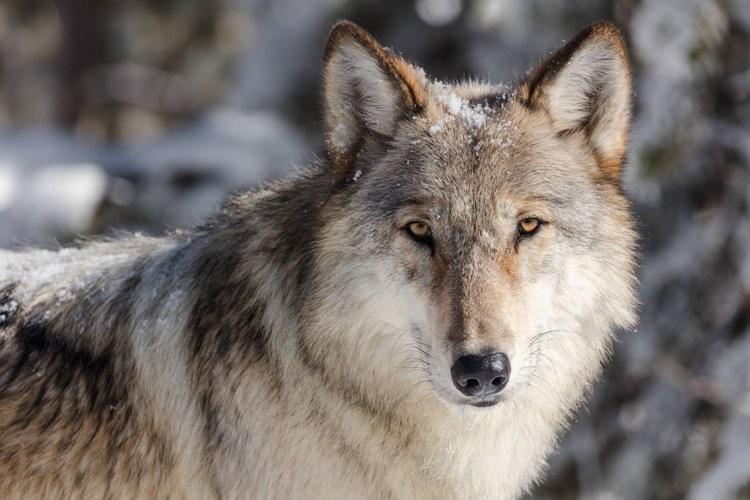 Výstava ukazuje, že vlci jsou velmi inteligentní zvířata s propracovanou komunikací