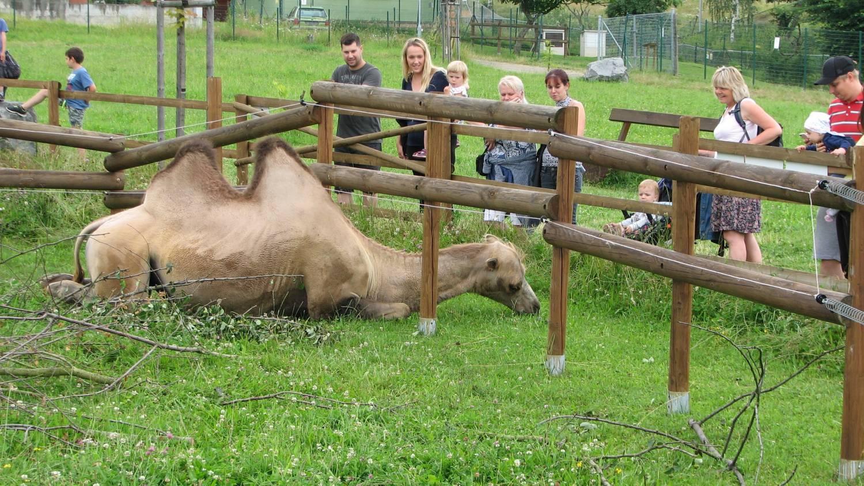 Mlsná velbloudice v ZOO Tábor i na kolena klekne!