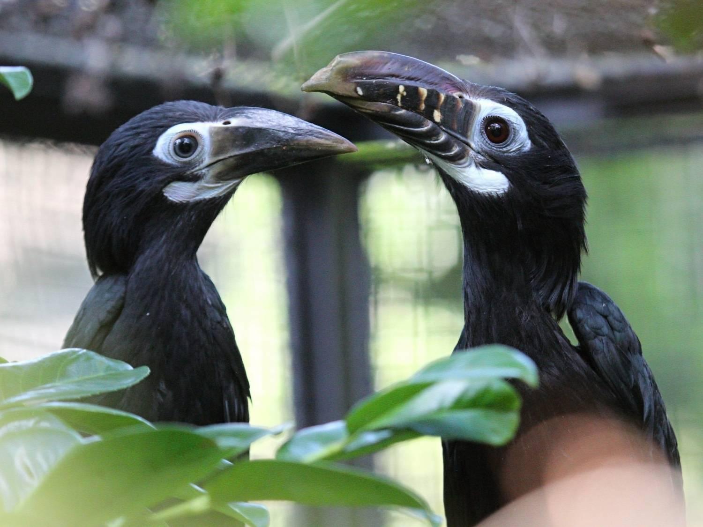 Mimořádně úspěšné odchovy zoborožců a dvojzoborožců v Zoo Praha